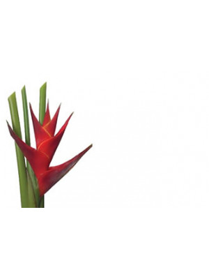 Enc Cd Heliconia Red
